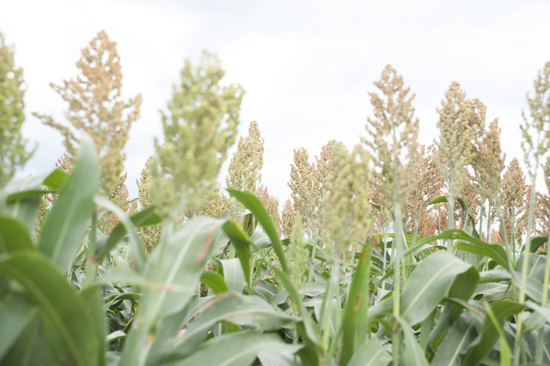 Millet plants. Lone Star Ag Credit is a source for farm and ranch loans.